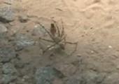 Rote Wespe gegen Spinne