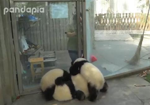 Kleine Pandas können ganz schön nerven