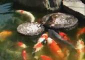 Ente füttern Koi Karpfen
