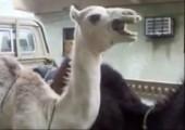 Kamel macht komische Geräusche