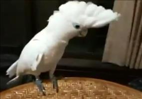 Kakadu tanzt zu Gagnamstyle