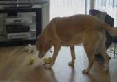Hund vs. 3 Tennisbälle