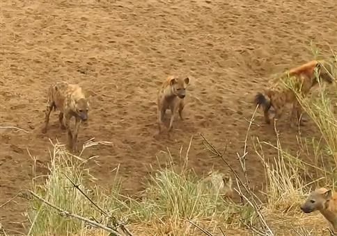 Hyänen greifen einzelne Löwin an