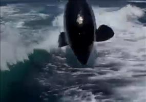 Orcas verfolgen Schnellboot