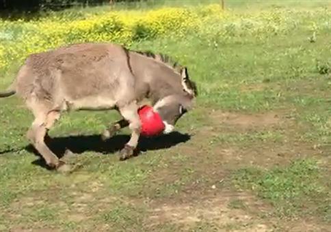 Der Esel mag seinen neuen Ball