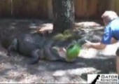Alligator vs Wassermelone