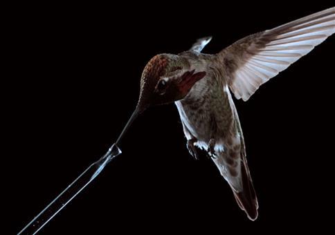 Einem Kolibri beim Fliegen und Trinken zusehen