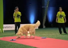 Golden Retriever setzt Prioritäten bei Hundeshow