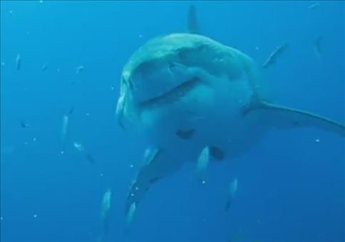 Größter Weiße Hai gefilmt