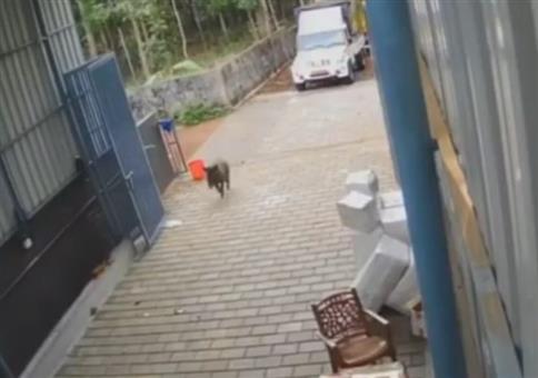 Wildschwein kommt im Büro zu Besuch