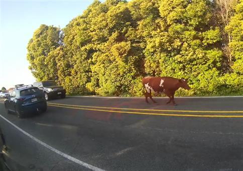 Kuh sorgt für Stau