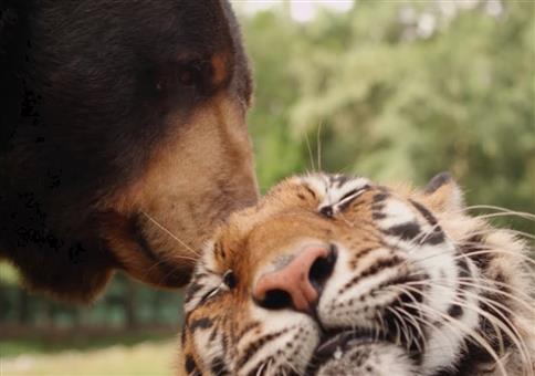 Beste Freunde: Ein Bär, ein Löwe und ein Tiger