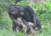 Schimpansen laufen synchron
