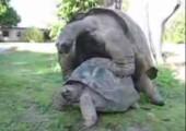 Schildkröten beim Sex Part 2