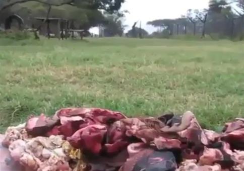 Löwen stürmen auf ihr Essen zu