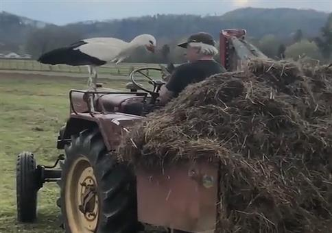 Klapperstorch mag den Traktor
