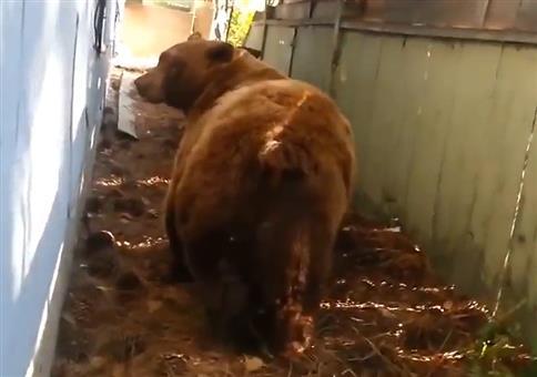Bär lässt auf seine Flucht noch ein Geschenk da
