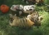 Tiger und Schweinchen