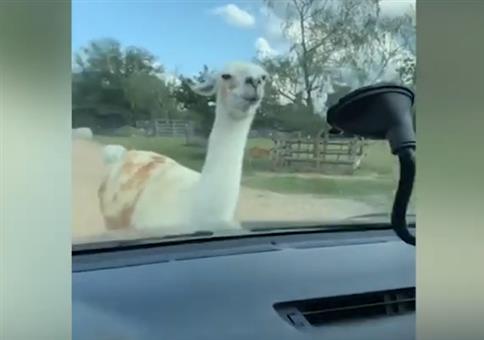 Wenn das Lama schon die Spucke sammelt