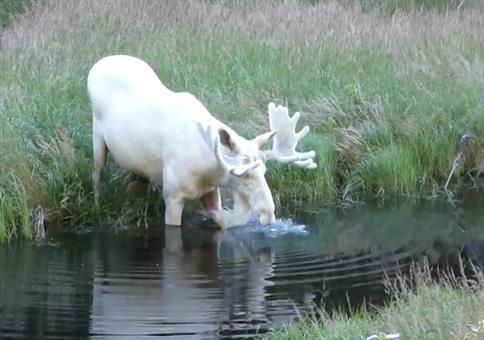 Ein weißer Elch