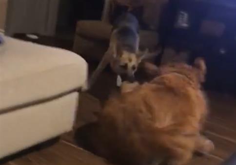 Wenn der eine Hund den anderen nach draußen schleift