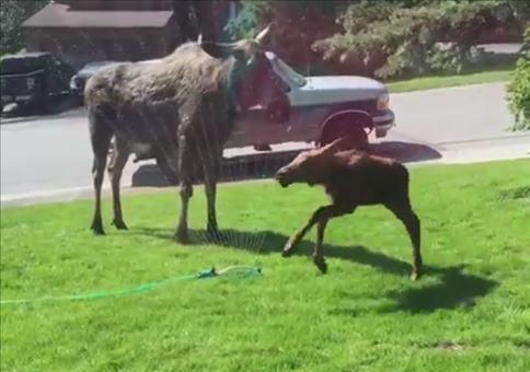 Elche haben Spaß mit Rasensprenger