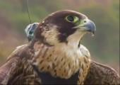 Fliegen mit den schnellsten Vögeln der Welt