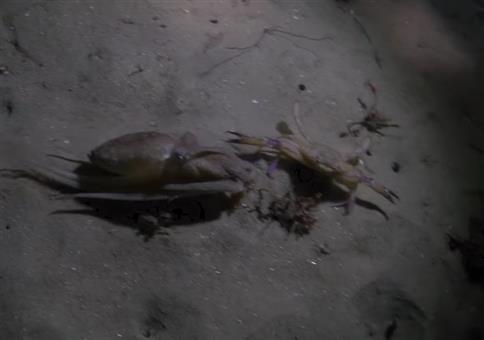 Tintenfisch VS Krabbe im Face Off