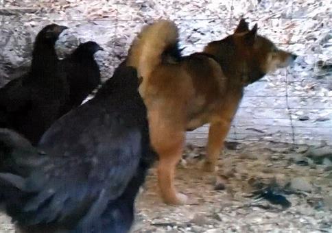 Huhn zwickt Hund
