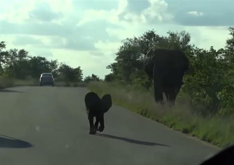 Babyelefant macht einen auf dicke Hose