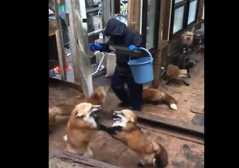 Eine Horde Füchse füttern