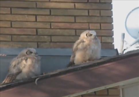 Zwei Eulen auf dem Dach