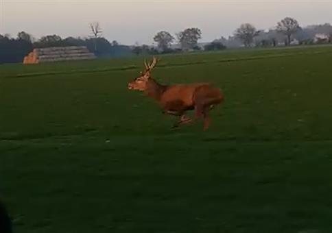 Da springt einem doch der Hirsch vor das Auto