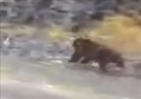 Wenn du denkst, du könntest vor einem Bären davonlaufen