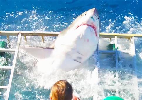 Großer weißer Hai plötzlich im Taucherkäfig