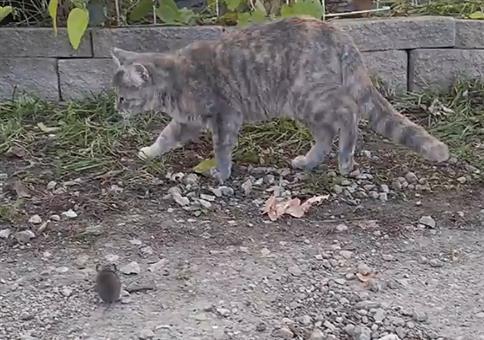 Katze und Maus: Wenn man zu lange mit seinem Essen spielt