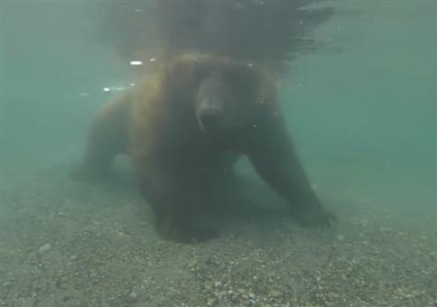 Bär fängt Fisch mit seinen Tatzen