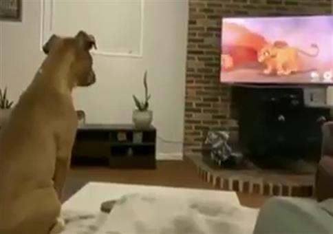 Hund schaut König der Löwen