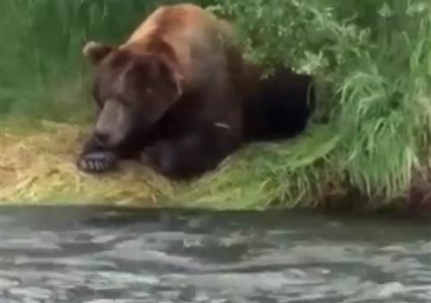 Bär fängt Fisch mit seinen Tatzen am Flussufer