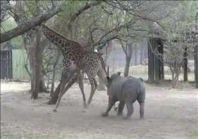 Das Nashorn und die Giraffe