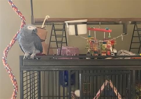 Papagei mit eingeschränktem Wortschatz