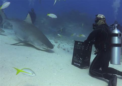 Taucher tanzt mit Tigerhai