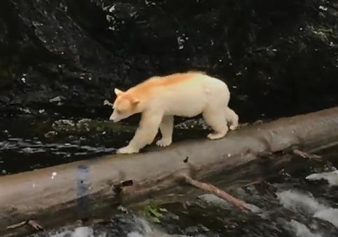 Seltene Sichtung eines Geisterbären