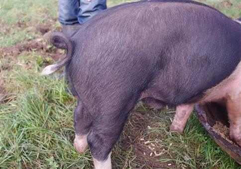 Schweineschwanz gerade bekommen