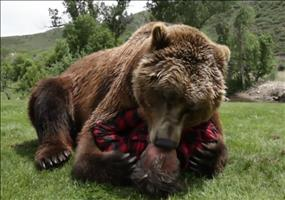 Kuscheln mit einem Grizzly Bären