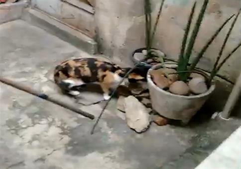 Ratte auf spektakulärer Flucht