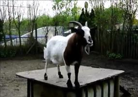 Kopfball Ziege