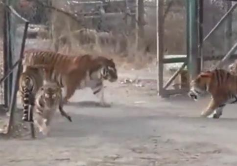 Alpha-Tiger