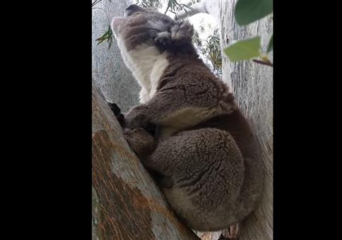 Koala verschluckt sich beim Brunftschrei