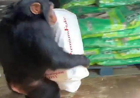 Affe als Hilfsarbeiter
